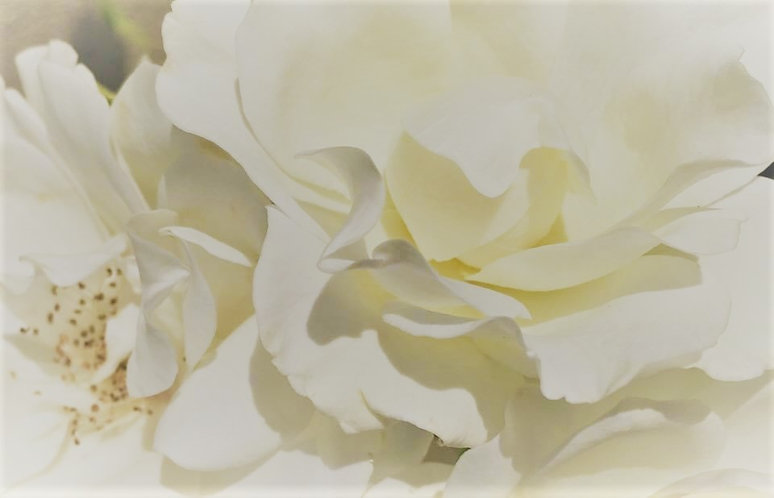 Dr. D'Annibale's White Roses