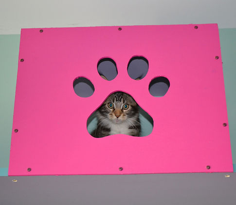 Maine Coon kitten looking out the box