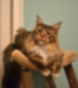 Champion Mainesail Tradewinds of Big meow, a brown tabby with white male maine coon