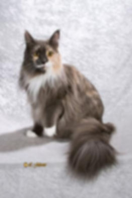 professional photo of a maine coon cat
