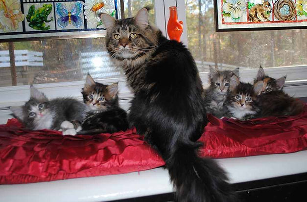 Maine Coon cat fahter babysitting the kittens