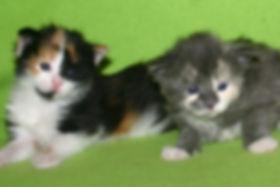 Two kittens 2 weeks old