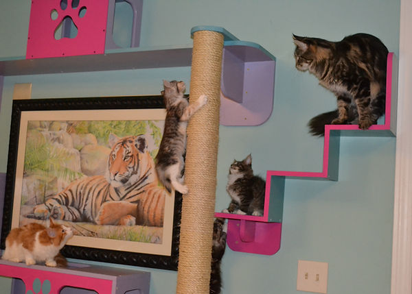 Climbing the maine coon cat superhighway