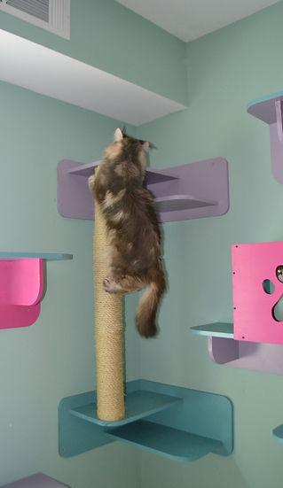 Rockin, the maine coon cat, climbs the pole
