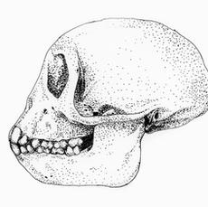 Rhesus skulls, juvenile and adult