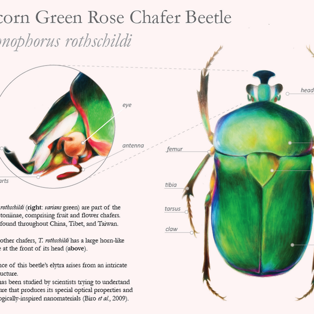 Chafer beetle educational poster