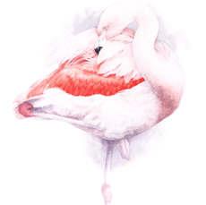 Preening II (Chilean flamingo)