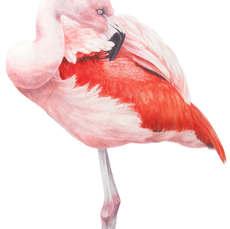 Preening (Chilean flamingo)