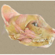 Housecat anatomical layers