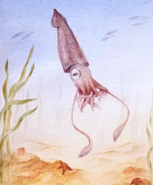 Squid (Loligo sp.)