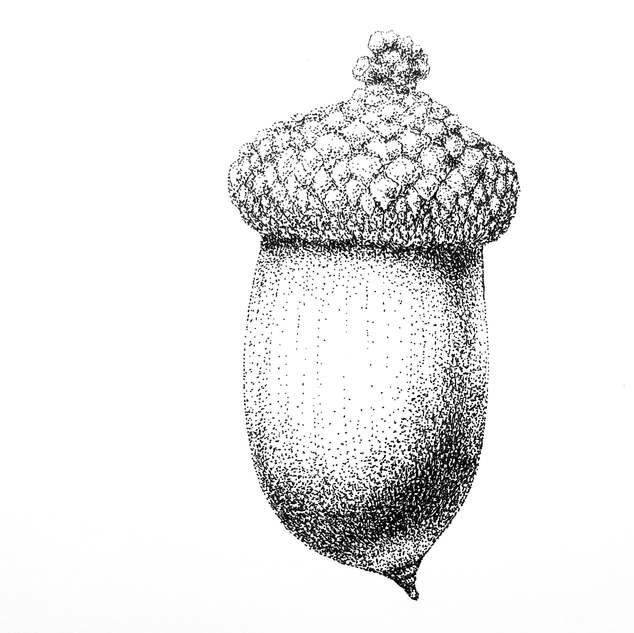 Acorn (Quercus alba)