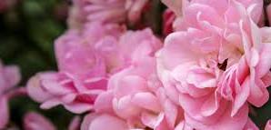 De ce să nu uităm nicicând trandafirii?