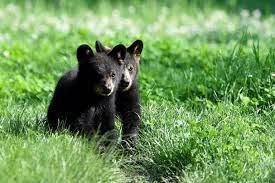 Trei pui de urs s-au nascut in Pirinei, o premiera in ultima jumatate de secol