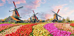 Lalelele olandeze infloresc, pentru al doilea an consecutiv, fara spectatori