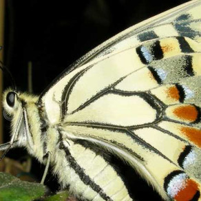 Fluturi tropicali vii la Muzeul Grigore Antipa