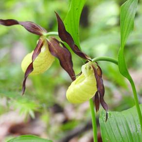 Orhideea sălbatică din Parcul Natural Putna / FOTO