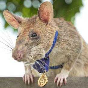 Un șobolan premiat pentru curaj a ieșit ...la pensie