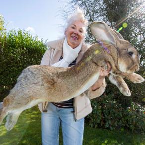 A fost furat cel mai mare iepure din lume