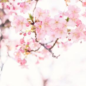 Anul acesta, cireșii din Japonia au înflorit cel mai devreme din ultimii peste 1.000 de ani / Video
