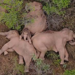 Aventurile elefanților migratori din China, în imagini impresionante