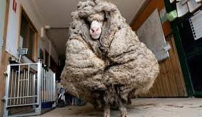 O oaie cat un sac de lana
