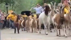 Zeci de capre duse într-un parc din New York