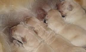 Furtul de câini, noua pandemie din Marea Britanie