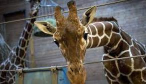 Cea mai batrana girafa din Europa a murit