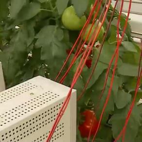 La Iași a fost creată roșia care crește stimulată de curentul electric
