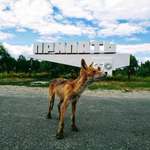 Caii sălbatici, câinii și oamenii de la Cernobîl
