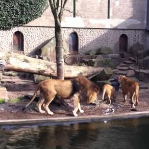 O vestită grădină zoologică din Amsterdam renunță la lei, din cauza problemelor financiare