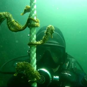 Marea Neagră: Imagini spectaculoase cu zeci de căluți de mare, filmați de un scafandru/VIDEO