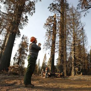 Un arbore californian arde de aproape un an de zile