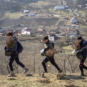Tășuleasa Social plantează 5 hectare cu goruni / Foto