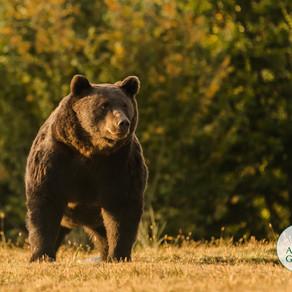 Arthur, cel mai mare urs din România, împușcat de un Prinț într-o arie protejată