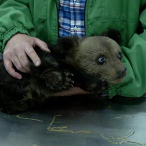 Doi pui de urs salvați. Unul în Suceava și unul la Sibiu / Video