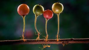 Cât de puternică este, de fapt, o furnică? Imagini cu furnici care cară fructe de 3 ori mai grele