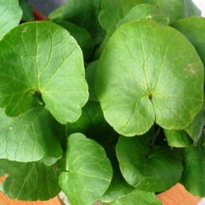 Tot ce trebuie să știi despre planta cu frunze rotunde și verzi: Untișorul