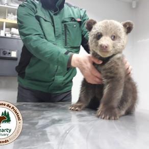 Ministerul Mediului: de ce au fost amendați cei care au salvat puii de urs și cum trebuia procedat