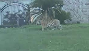 Un tigru pe strazile din Houston/FOTO+VIDEO