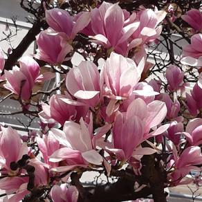 Povestile si harta magnoliilor din Bucuresti / FotoReportaj