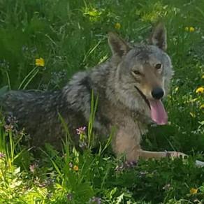 Povestea Lupului, sau cum a devenit vedetă un lup, într-un sat din Republica Moldova