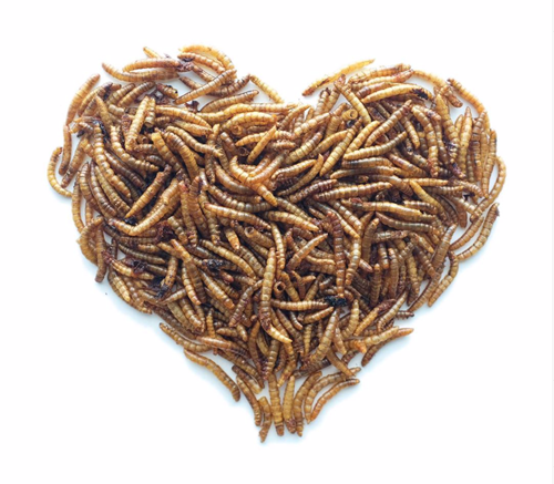 Insektprotein i laks-og-kyllingfôr