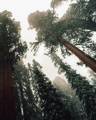 Sequioa Giant Forest 1