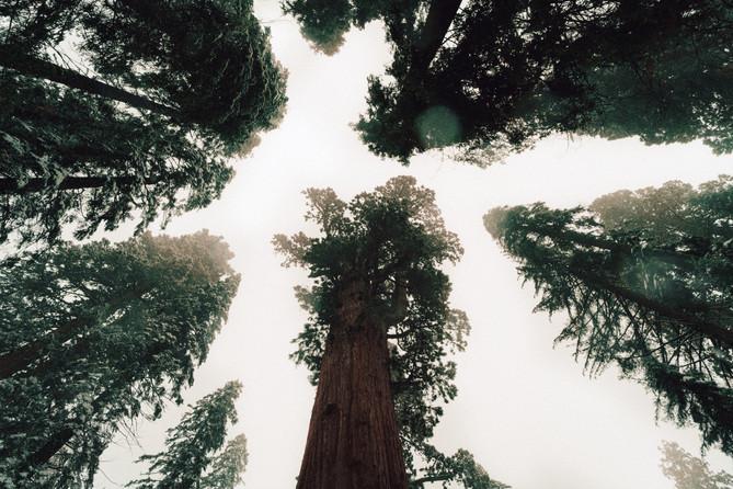 Sequioa Giant Forest 2