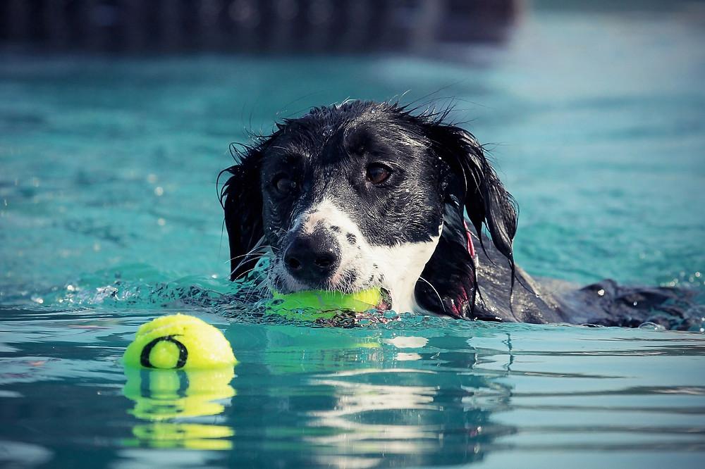 Hund schwimmt im See mit Tennisball im Maul