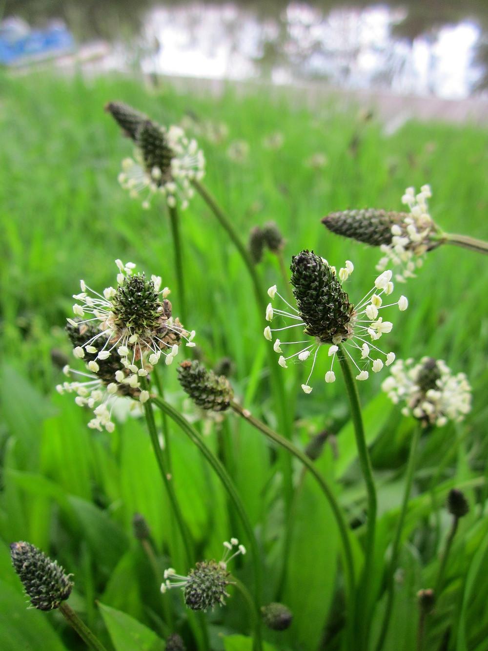 Spitzwegerich Heilkraut Blüten und Blätter