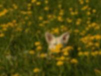 Hund liegt in einem Löwenzahnfeld - Entgiftungskur