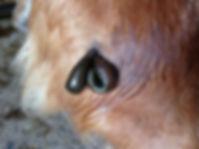 Blutegel am Hüftgelenk des Hunds