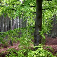 tree denmark
